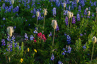 Wildflowers--lupine, arnica, paintbrush, bistort and anemone or western pasqueflower--in subalpine meadow, Mount Rainier National Park, WA.  Summer.