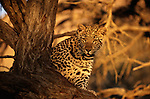 Leopard, Kalahari Desert, South Africa