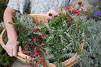 Herbalist basket of freshly harvested herbs (Bay leaf, Rose hips, rosemary, Santolina, Echinacea)
