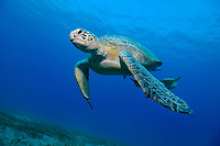 Green sea turtle coming from the surface, Abu Dabab, South Egypt, Chelonia mydas;