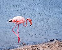Caribbean, Atlantic flamingo, Phoenicopterus ruber ruber, Netherland Antilles, Bonaire, Washington Slagbaai National Park, Salina Slagbaai