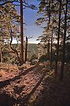 Ponderosa Pine trees on the north rim of Grand Canyon