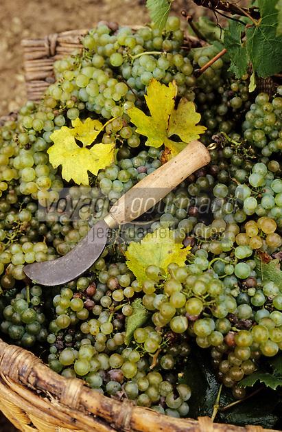 Europe/France/89/Yonne/AOC Chablis: Les vendanges de Jean Durup à Maligny - Grappes de raisins cépage Chardonnay