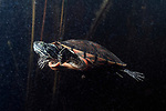 Plymouth red-bellied cooter swimming in Burrage pond, Hanson, Massachusetts