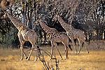 Giraffe, Hwange Natl. Park