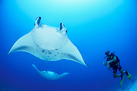 reef manta ray, Manta alfredi, and scuba diver, Gan, Maradhoo, Addu Atoll, Maldives, Laccadive Sea or Lakshadweep Sea, Indian Ocean, MR