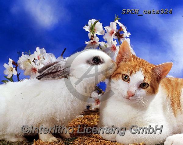 Xavier, ANIMALS, REALISTISCHE TIERE, ANIMALES REALISTICOS, cats, photos+++++,SPCHCATS924,#a#, EVERYDAY