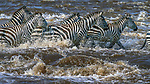 Burchell's zebras are much stronger swimmers than common wildebeests, preferring to cross the Mara River's many rapids where they know crocodiles are less likely to be lurking.