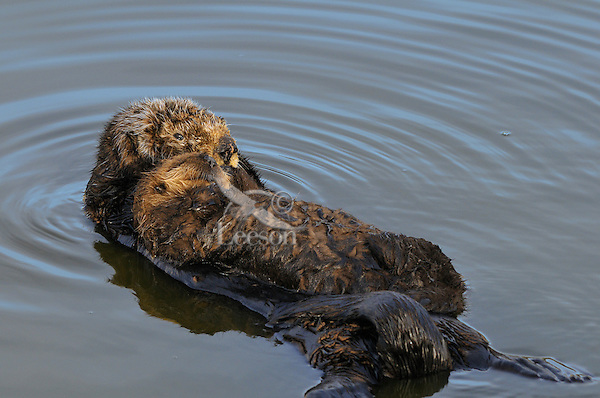 Sea Otter (Enhydra lutris) mom and pup resting.