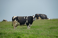 A Holstein cow in a field, Chipping, Preston, Lancashire. UK.