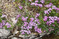 Bäumchen-Seidelbast, Zwerg-Seidelbast, Zwergseidelbast, Daphne arbuscula, Daphne