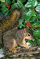 Fox squirrel eating an acorn near holly bush on a snowy day