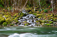 Quartzville Creek with moss and seasonal feeder stream. Quartzville Creek Wild and Scenic River. Oregon