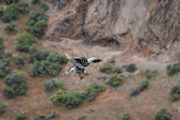 Bald Eagle (Haliaeetus leucocephalus)--adult bringing small trout (fish) back to nest.  Oregon.  May.  Might also see image #s K1A3900 and 3901.