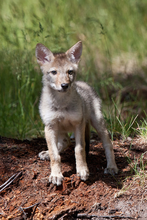 Coyote pup standing outside a den site - CA