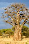 Female African elephant (LOxodonta africana) with African baobab (Adansonia digitata). Tarangire National Park, Tanzania.