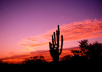 Colorful desert sunset with a saguaro cactus in silhouette. Arizona.