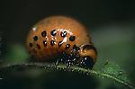 2984-HM Colorado Potato Beetle Grub, Leptinotarsa decemlineata feeding on Dwarf Flowering Tobacco, Minnesota