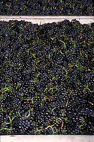 Large bins of freshly picked PINOT NOIR WINE GRAPES are headed for the crush - MONTEREY COUNTY, CALIFORNIA