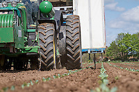 Automatic planter planting calabrese plants - Lincolnshire, May