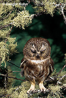 OW02-393z  Saw-whet owl - eye blinking - Aegolius acadicus