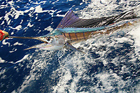 sailfish, Istiophorus platypterus, at boat, Exmouth Western Australia, sportfishing