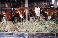 Pozzallo frazione di Romagnese (Pavia). Cooperativa Agricola Canedo: allevamento semibrado di bovini da carne. Mucche mangiano fieno in stalla --- Pozzallo Romagnese (Pavia). Canedo Agricultural Cooperative: semi-wild breeding of beef cattle. Cows eating hay in the stable