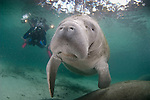 Curious Manatee wanting human interaction