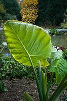 Big Leaved Plants