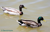 0218-1202  Brown Headed Mallard (Rare Genetic Variation) with Green Headed Mallard (Common) for Comparison, Anas platyrhynchos  © David Kuhn/Dwight Kuhn Photography