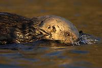 Sea Otter (Enhydra lutris) diving.