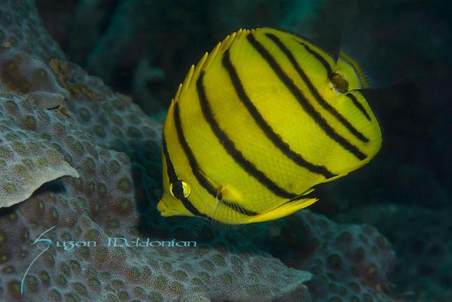 Chaetodon octofasciatus, Eight-Banded Butterflyfish, Indonesia, Lembeh, underwater marine life