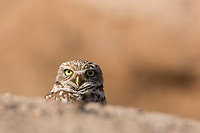 A curious burrowing owl peeks above the berm while keeping close to its burrow.