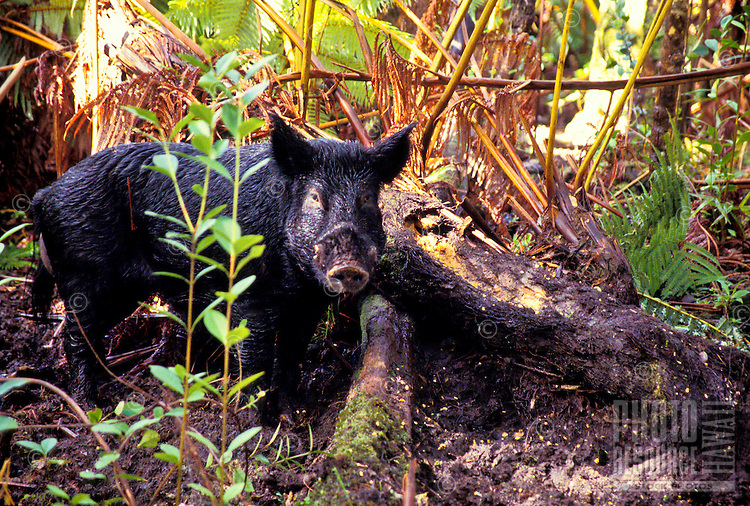 Wild pig (sus scrofa) in forest at Hawaii volcanoes national park