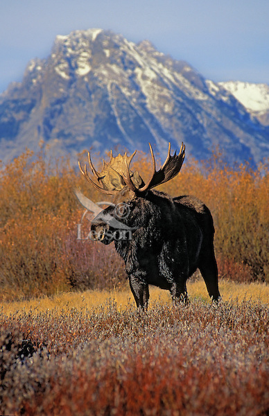 """BULL MOOSE.  The name 'moose"""" is derived from the Algonkian name that means """"eater of twigs"""".  Autumn. Rocky Mountains..Grand Teton National Park, Wyoming. U.S.A. (Alces alces)."""