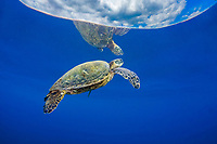 A green sea turtle, Chelonia mydas, an endangered species, surfaces for a breath on a calm day off Hawaii.