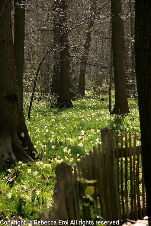 Wild daffodils at Lesnes Abbey woods in southeast London, UK