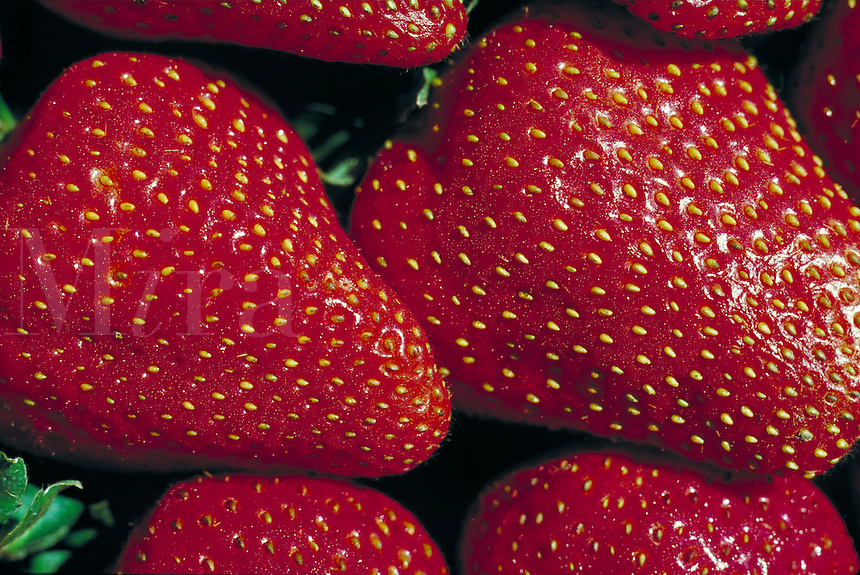 tight close-up of bright red strawberries . agriculture, fruit, crop. Gilroy California.