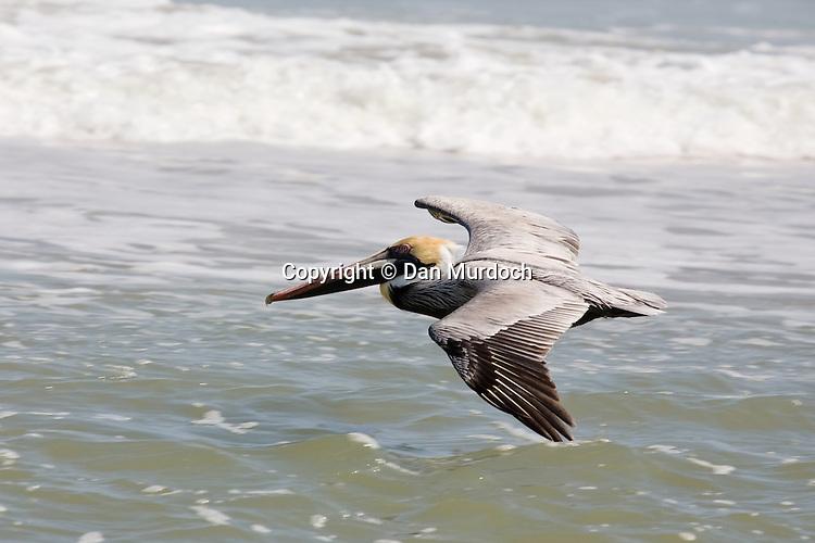 Pelican skimming waters edge