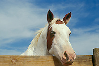 Close up of Paint quarter horse at fence