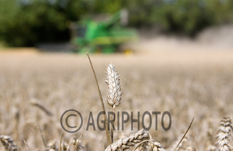 Harvesting Wheat in Lincolnshire.Picture Tim Scrivener date taken 9th August  2011 .mobile 07850 303986 e-mail tim@agriphoto.com.....covering Agriculture in The United Kingdom.....