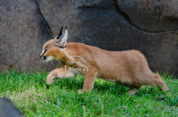 """Caracal Kitten (Caracal caracal)--this cat is about 7 weeks old.  The word """"Caracal"""" comes from the Turkish word """"karakulak"""" which means """"black ear.""""  Found in Africa through Central Asia and India."""