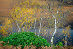 Glencoe, Scotland:<br /> Autumn birch, rhododendron and bracken ferns above Loch Leven