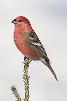 Male Pine Grosbeak perched on the branch of a pine tree