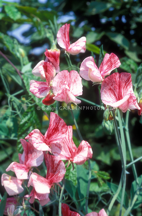 Lathyrus odoratus 'America' red and white striped streaked sweetpeas sweet pea flowers, patriotic flowers named for USA, growing on vine