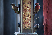 A male House finch with red head and breast pokes at a bird feeder, raining bird seed down on the House sparrow below, which already has its mouth full of seed.  Backyard wildlife.