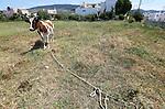 Foto: VidiPhoto<br /> <br /> KOS – Koeien lopen op het vakantie-eiland Kos en in grote delen van Griekenland gewoon aan de leiband. Letterlijk. Ze staan vast aan een paal met een stuk touw en begrazen alleen het deel van het weiland dat de langte van het touw toe laat. Zodra het stuk is afgegraasd, wordt de koe verplaatst. Een afrastering kennen de meeste Griekse boeren niet. Reden is dat er maar weinig melkveehouders zijn en de bedrijven vaak bestaan uit een handjevol koeien met wat ander vee. Bovendien kunnen zo kleine stukken grasland afgegraasd worden, ook midden in de stad zoals hier. De bekende, dikke romige, Griekse yoghurt: yiaoúrti, wordt gemaakt van melk van de bruine koe op de achtergrond. Door de crisis krijgen de koeien ook vrijwel geen krachtvoer meer en doen ze dus noodgedwongen aan de lijn.