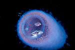 Fish in a Pyrosome, Black Water diving over Gufstream Current; Plankton; SE Florida Atlantic Ocean off Singer Island 5 miles due south.; larval fish; pelagic larval marine life; plankton creatures