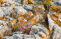 Wild grass growing in the cracks of lichen covered granite rocks, Maine, USA