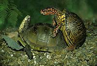 Box turtles making intimate eye contact
